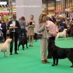 Queenie Crufts 2015 Veteran