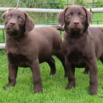 Rooney puppies