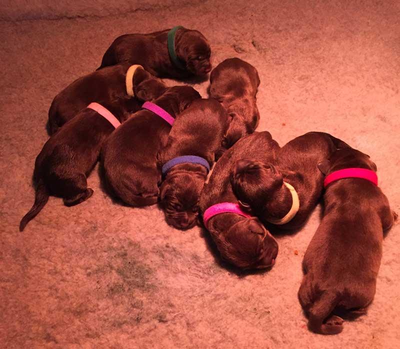 Rooney x Sabi puppies
